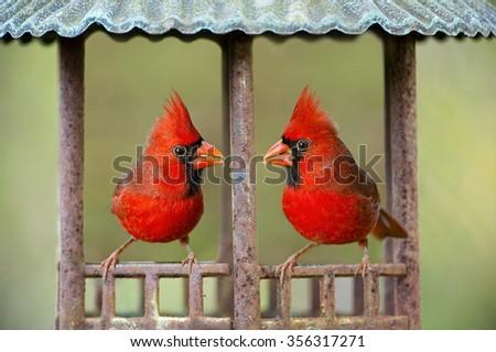 Male Cardinals in Bird Gazebo - stock photo