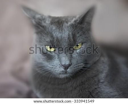 Male Cat Portrait, Poker Face. Fierce Brutal Grumpy Cat. Real predator, Funny Pets - stock photo