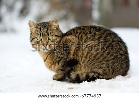 male cat sits in the snow - stock photo