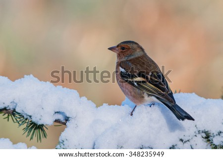 Male chaffinch on a branch covered in snow - stock photo