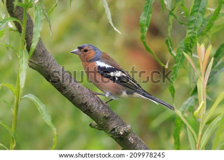 Male Chaffinch perched in a tree - stock photo