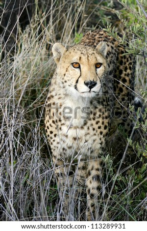 Male cheetah in long grass, Namibia