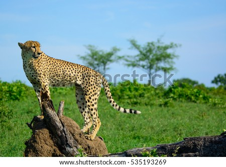 Male Cheetah in tree, Sabi Sands Game Reserve, South Africa