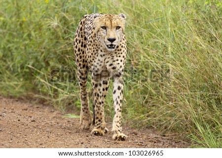 Male cheetah walking down a sand road - stock photo