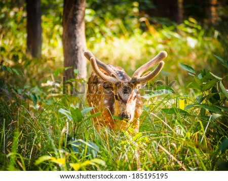 Male chital (Axis axis) in Bardia National Park, Nepal - stock photo