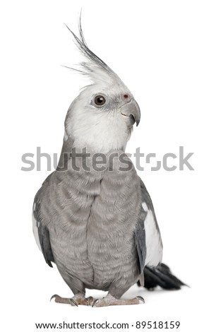 Male Cockatiel, Nymphicus hollandicus, in front of white background - stock photo