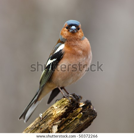 Male Common Chaffinch (Fringilla coelebs) perching stump. - stock photo