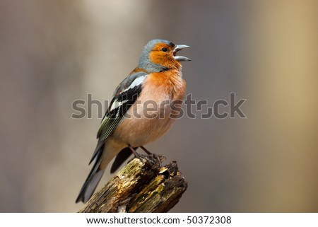 Male Common Chaffinch (Fringilla coelebs) perching stump. Singing bird. - stock photo