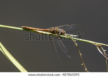 Male Common Darter (Sympetrum striolatum) dragonfly in profile isolated against plain grey/brown background.