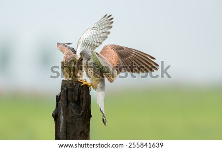 Male common european common Kestrel brings a mouse too his juvenile   - stock photo