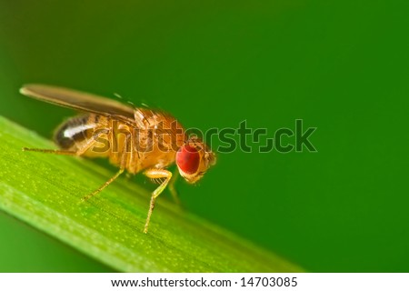 Male common fruit fly (Drosophila Melanogaster) sitting on a blade of grass with green foliage background - stock photo