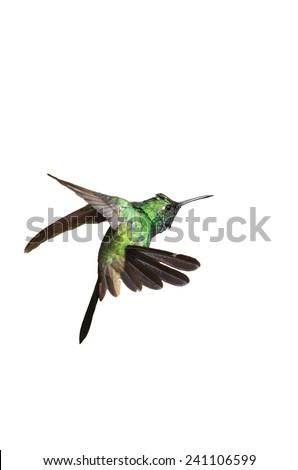 Male Cuban emerald hummingbird (Chlorostilbon ricordii) hovering motion isolated on white background - stock photo