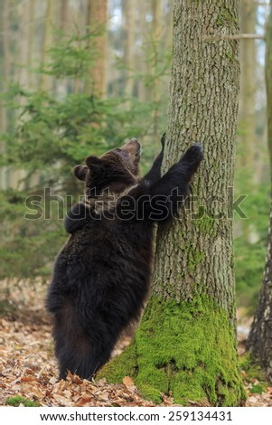 male cube brown bear looks at what is top of the tree - stock photo