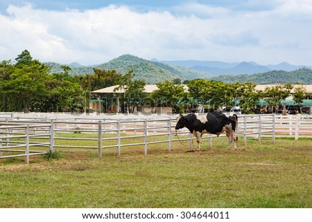 Male dairy cow bull breeder standing eating grass - stock photo