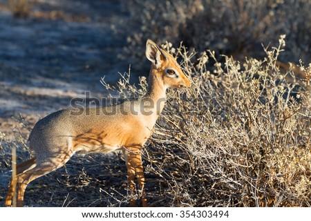 Male Damara dik-dik (Madoqua kirkii damarensis) in Onguma Game Reserve, Namibia