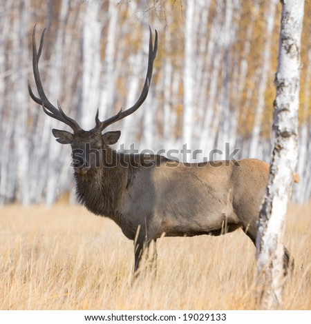 Male deer with huge antlers - stock photo