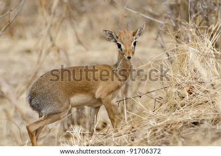 Male dik-dik antelope - stock photo