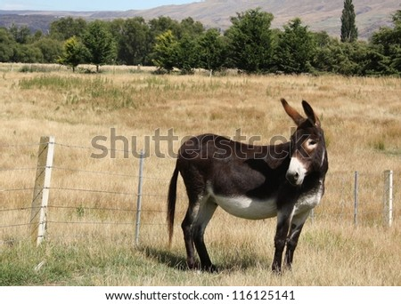 Male donkey looking back to his friend. - stock photo