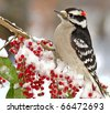 Male Downy Woodpecker (Picoides pubescens).  Male Downy Woodpecker perched on a snowy branch full of bright red berries - stock photo