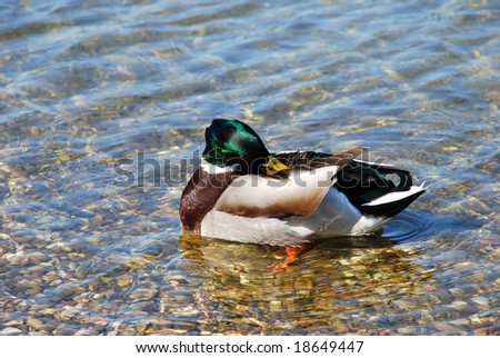 male duck green head over transparent water - stock photo
