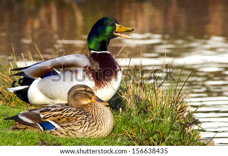 Male duck protects female duck - stock photo