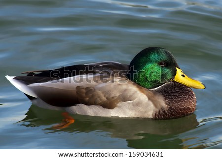 Male duck swim on the river - stock photo
