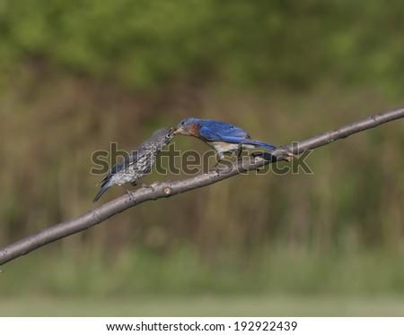 Male Eastern Bluebird Feeding Young - stock photo