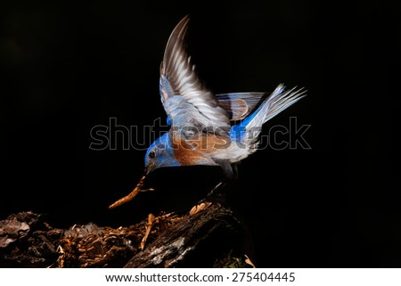 Male Eastern Bluebird on Black  - stock photo