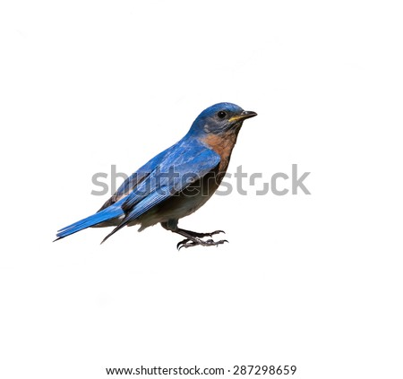 Male Eastern Bluebird on White Background, Isolated - stock photo