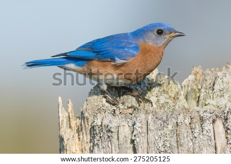 Male Eastern Bluebird perched on a fence post. - stock photo
