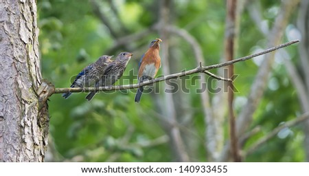 Male Eastern Bluebird perched on branch with fledgling. - stock photo