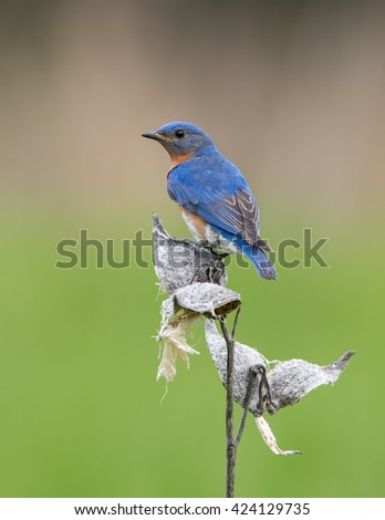 Male Eastern Bluebird Perched on Dry Milkweed - stock photo