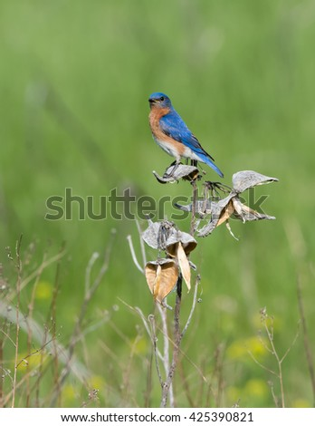 Male Eastern Bluebird Perched on Milk Weed - stock photo