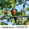 Male Eastern Bluebird (Sialia sialis) - stock photo