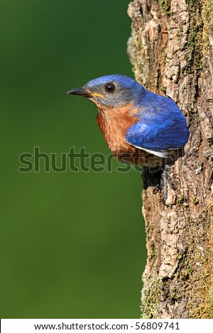 Male Eastern Bluebird (Sialia sialis) by a nest hole - stock photo