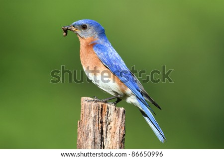 Male Eastern Bluebird (Sialia sialis) carrying a worm - stock photo