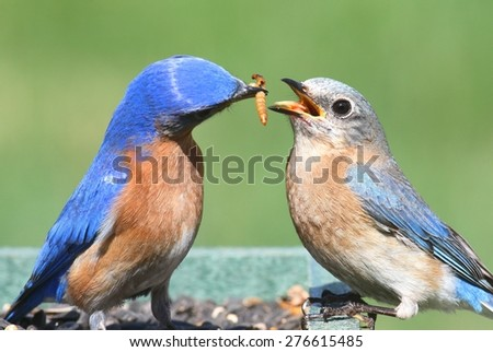 Male Eastern Bluebird (Sialia sialis) feeding a female on a feeder with a green background - stock photo