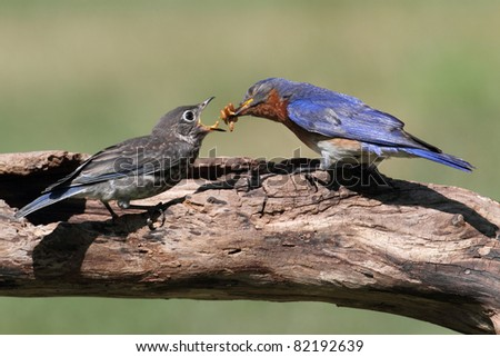 Male Eastern Bluebird (Sialia sialis) feeding a hungry baby on a log - stock photo