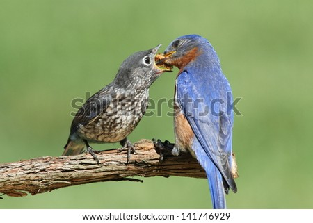 Male Eastern Bluebird (Sialia sialis) feeding his hungry baby - stock photo