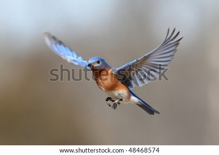 Male Eastern Bluebird (Sialia sialis) in flight - stock photo
