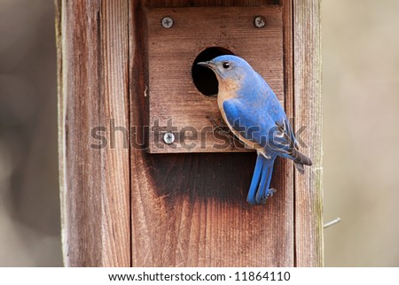 Male Eastern Bluebird (Sialia sialis) on a bird house - stock photo