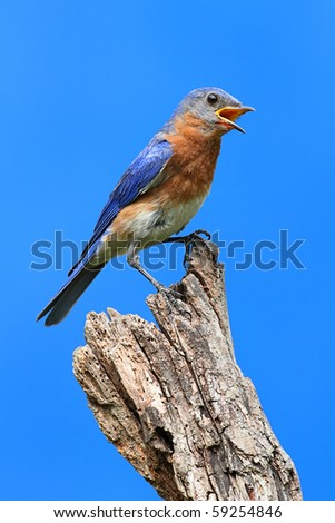 Male Eastern Bluebird (Sialia sialis) on a branch with a blue background - stock photo