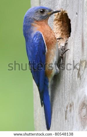 Male Eastern Bluebird (Sialia sialis) on a nest box - stock photo