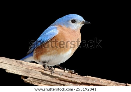 Male Eastern Bluebird (Sialia sialis) on a perch with a black background - stock photo