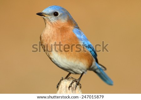Male Eastern Bluebird (Sialia sialis) on a perch with a brown background - stock photo