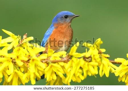 Male Eastern Bluebird (Sialia sialis) on a perch with forsythia flowers - stock photo