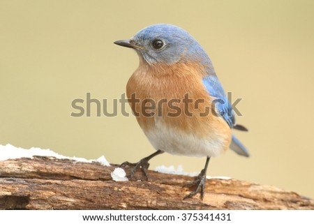 Male Eastern Bluebird (Sialia sialis) on a snow covered perch - stock photo