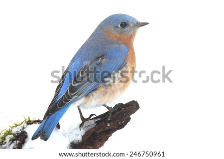 Male Eastern Bluebird (Sialia sialis) on a snow covered perch with a white background - stock photo