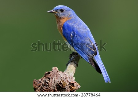Male Eastern Bluebird (Sialia sialis) on a stump with a green background - stock photo