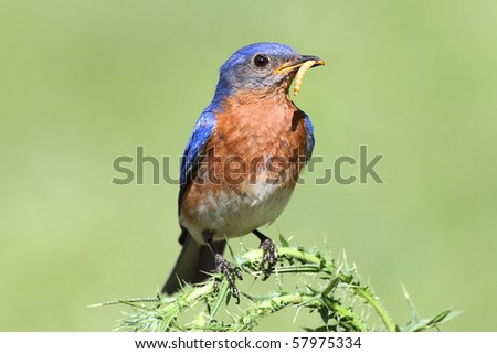 Male Eastern Bluebird (Sialia sialis) on a thistle flower plant with a worm - stock photo